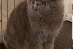 Perzská mačka Bublinka - nadpis