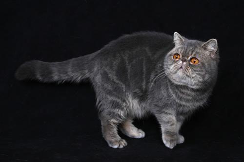 perzská  mačka Fifa