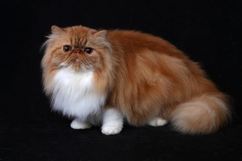 perzská mačka whisky