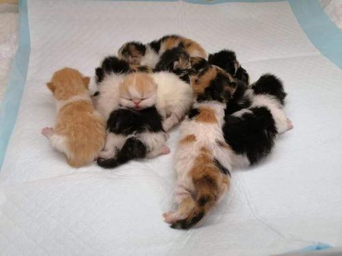 perzské a exotické mačiatka